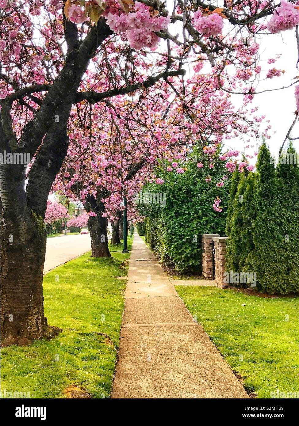 Guide To Vancouver S Cherry Blossoms Pacific Northwest Lifestyle