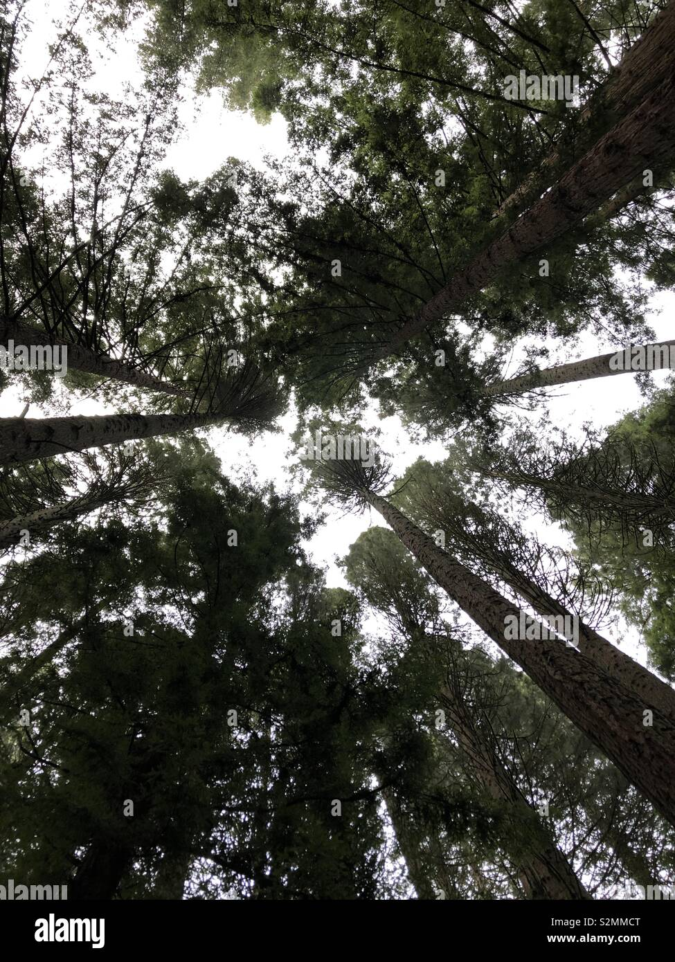 Redwoods - Stock Image