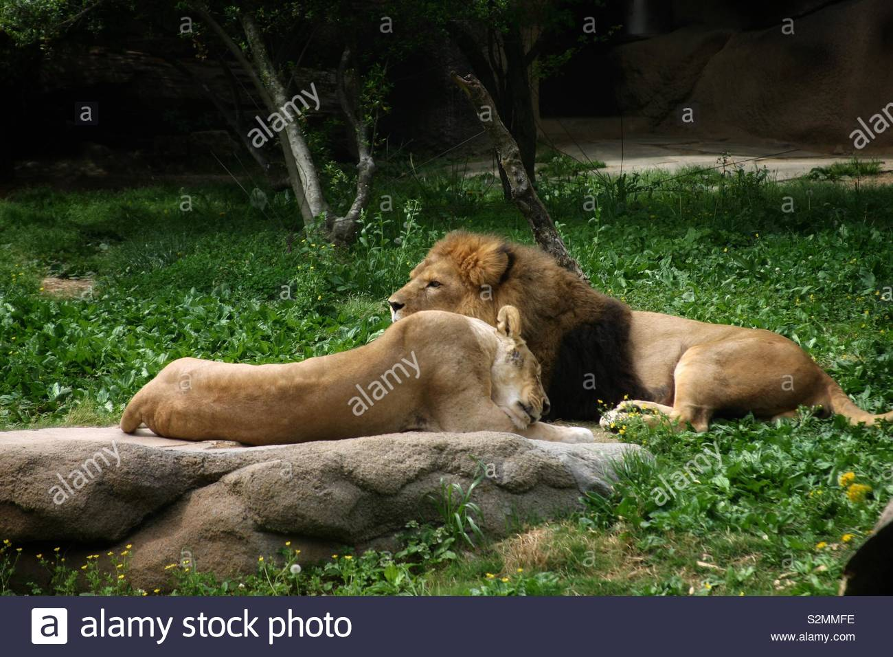 A lion and lioness take a nap. - Stock Image