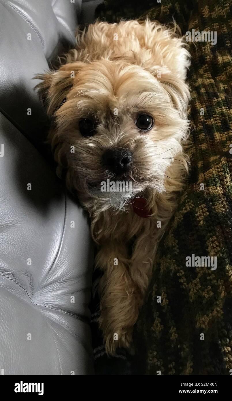 Shorkie Dog Stock Photo 311473029 Alamy