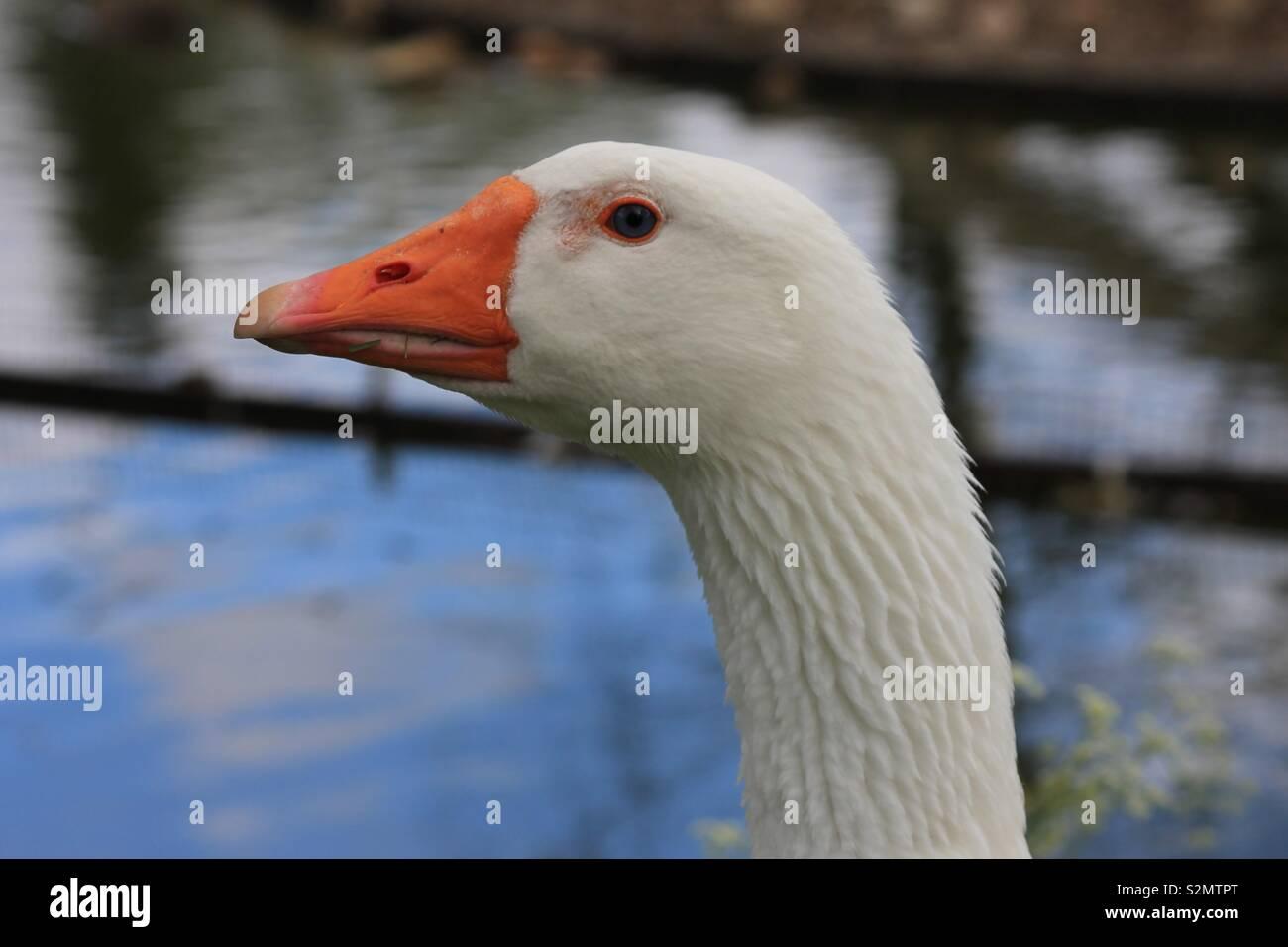 pretty nice eb4cd 06058 Gans Vogel Stock Photos & Gans Vogel Stock Images - Alamy