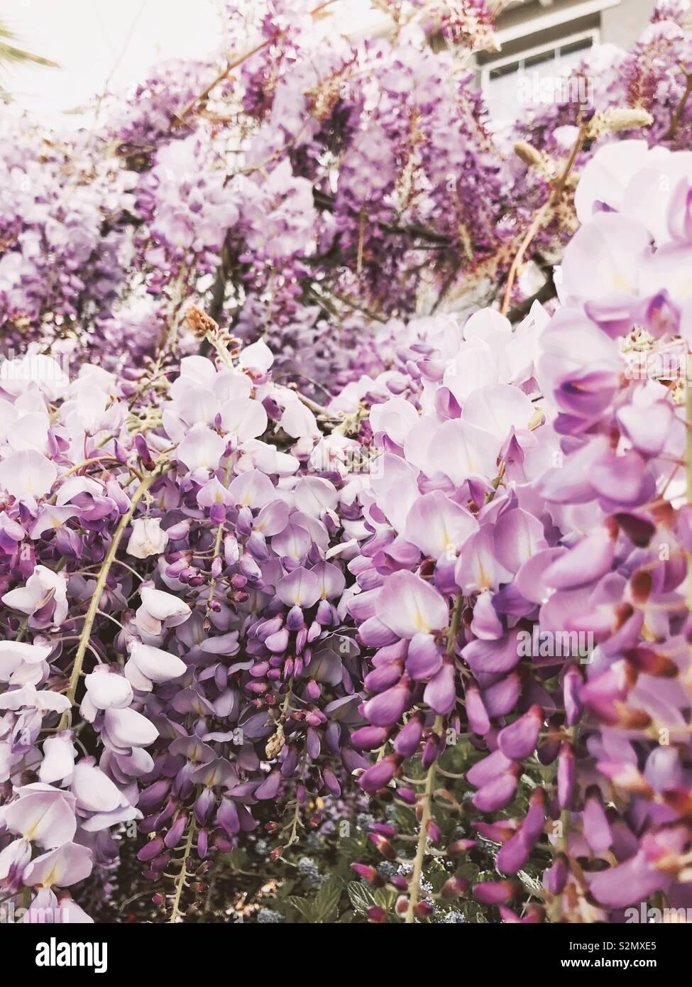 Spring flower - Stock Image