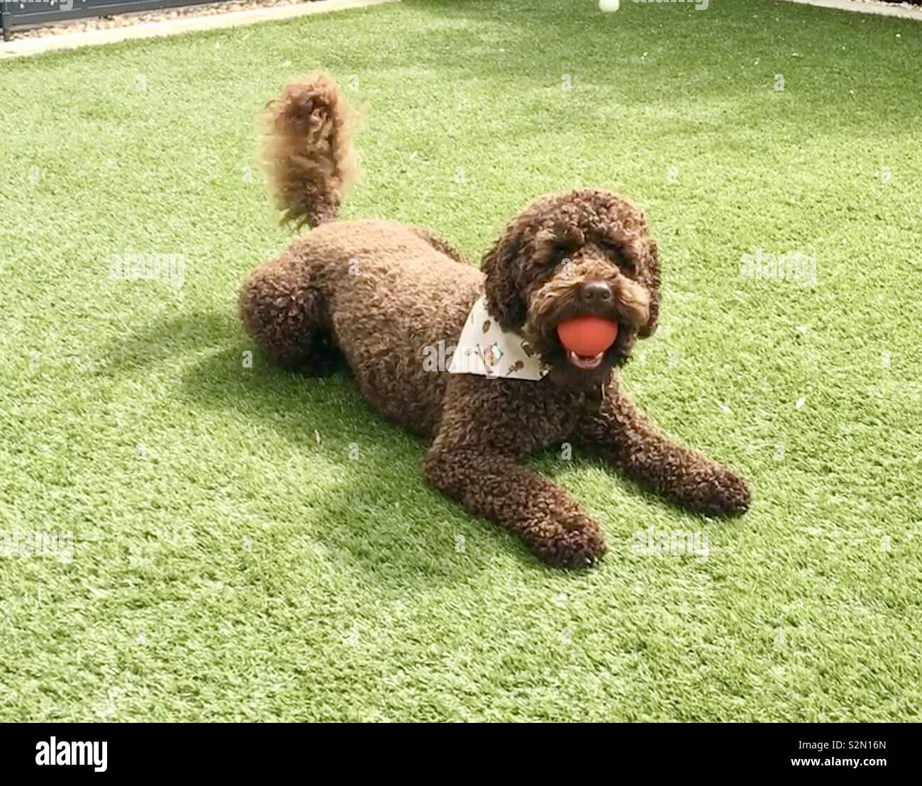 Henry the Cockerpoo - Stock Image