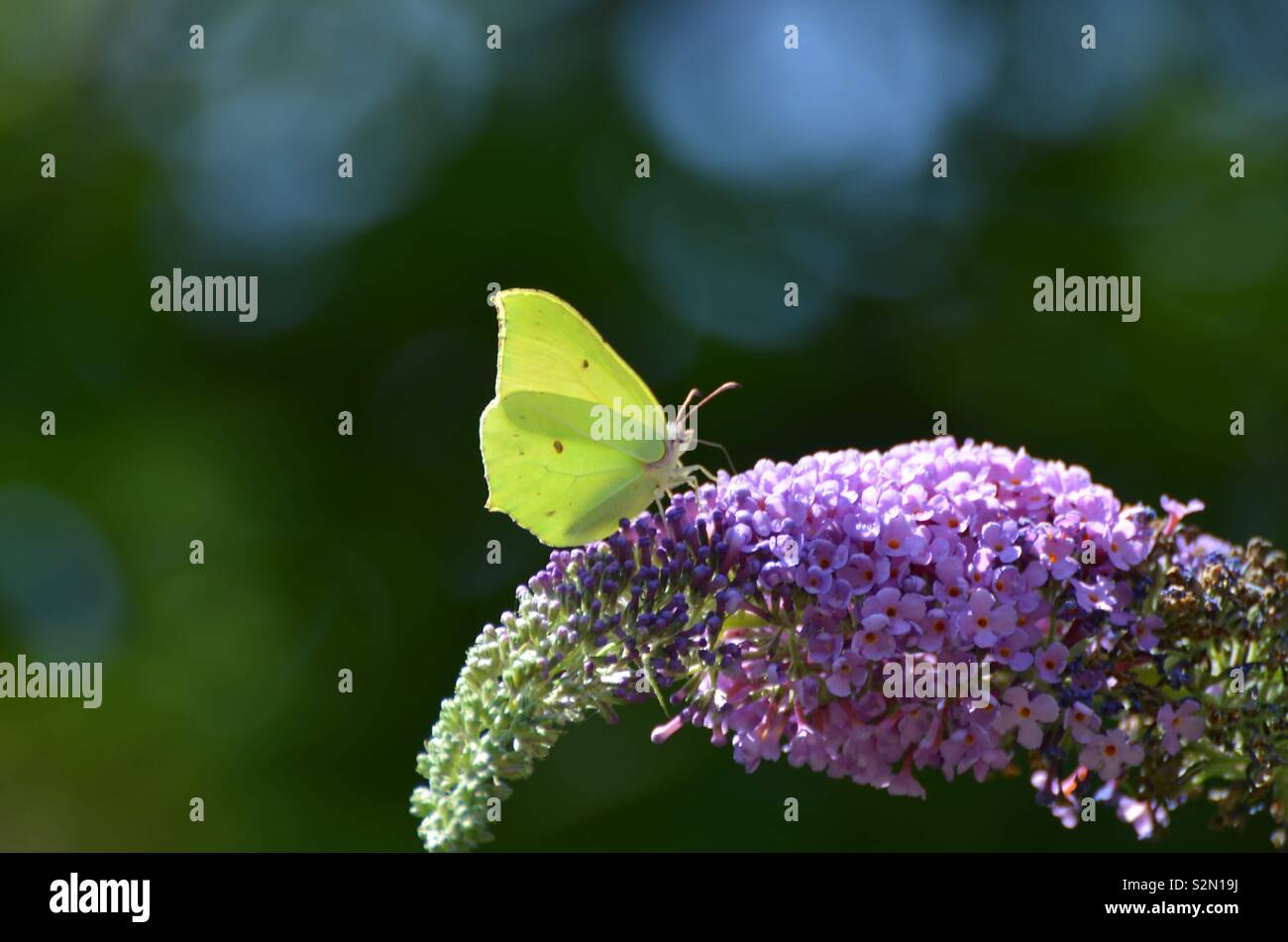 Zitronenfalter auf Buddleia - Stock Image