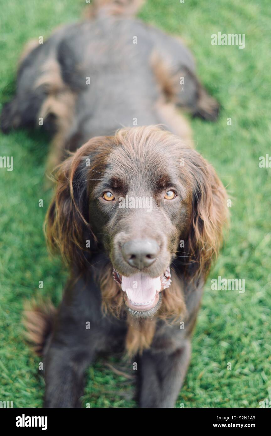 German longhaired Pointer lying in green grass looking at the Camera Stock Photo