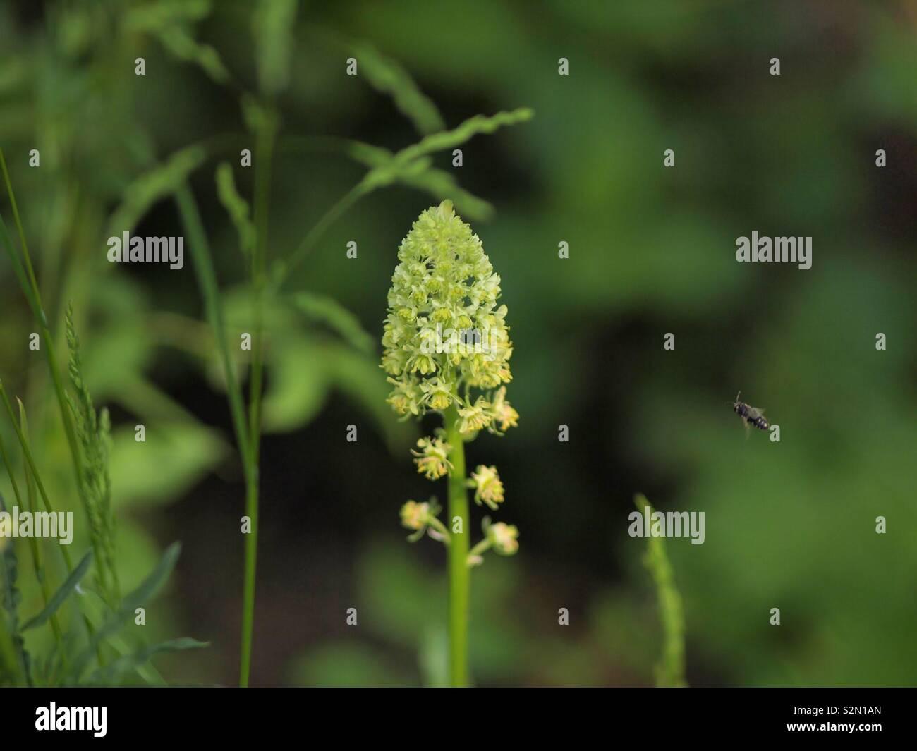 Wiesenblume mit Insekt im Anflug - Stock Image
