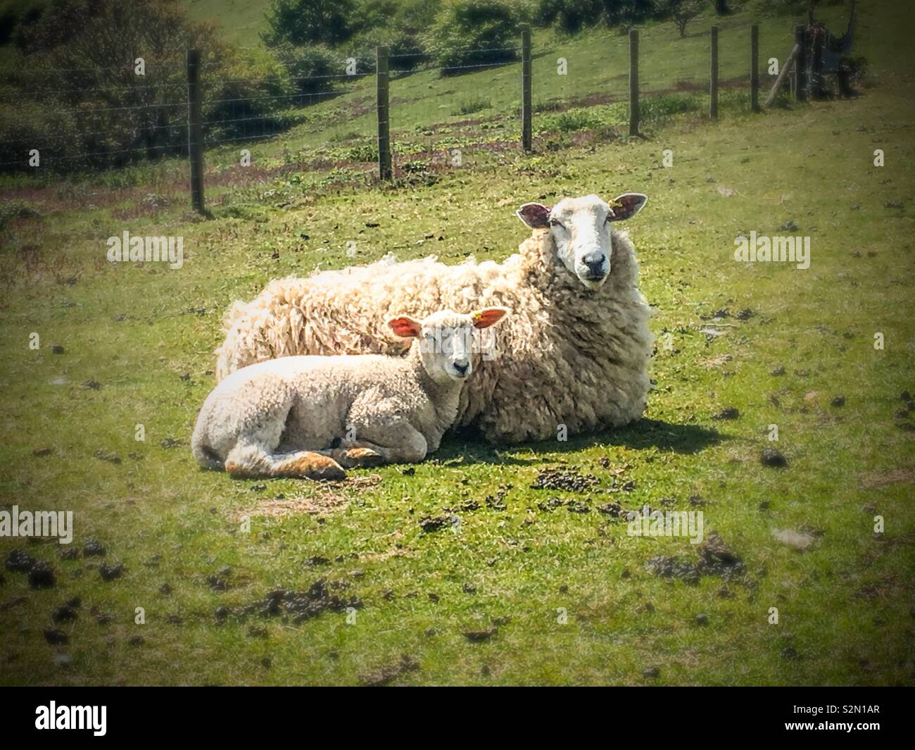 A ewe and her lamb enjoying the spring sunshine on the South Downs - Stock Image