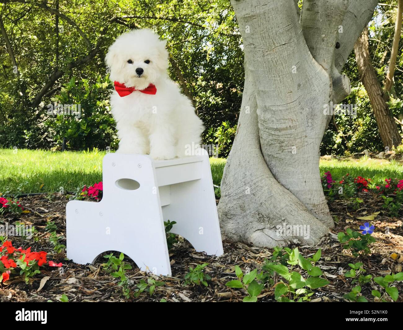 Sitting beneath a tree in a garden, Teddy Pup, resplendent in white fur and red bow tie, poses among the flora. - Stock Image