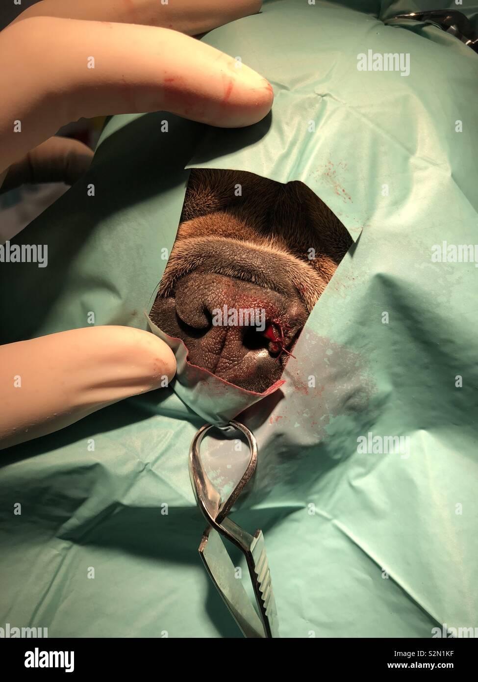 Canine nasal surgery - Stock Image