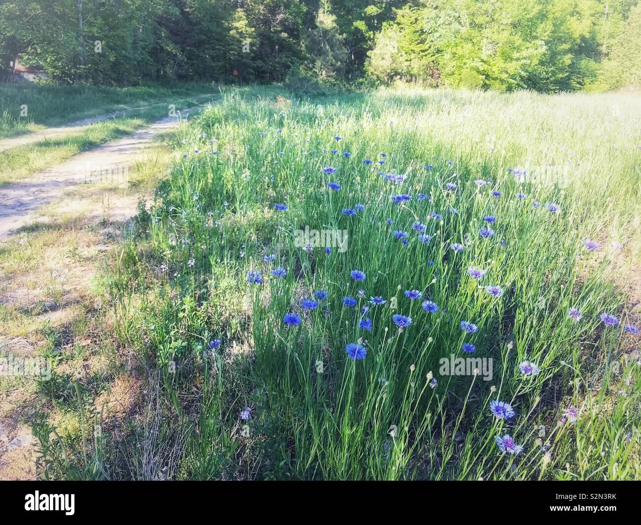 Strip of blue bachelor's buttons in field next to dirt road with sunshine and shadow - Stock Image