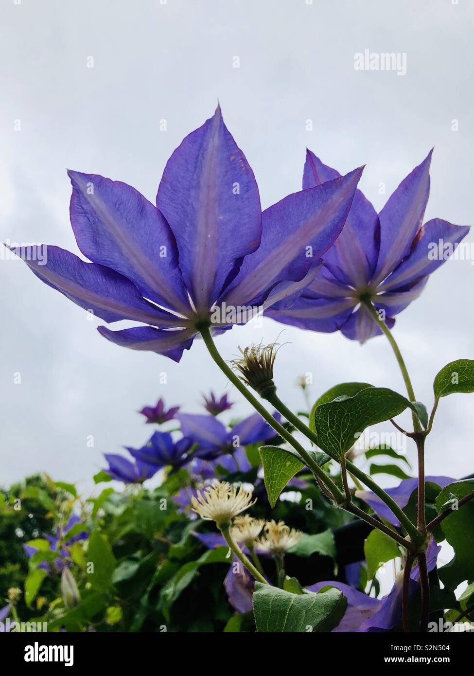 Blooming clematis vine with several violet blossoms taken from below with sky in background - Stock Image