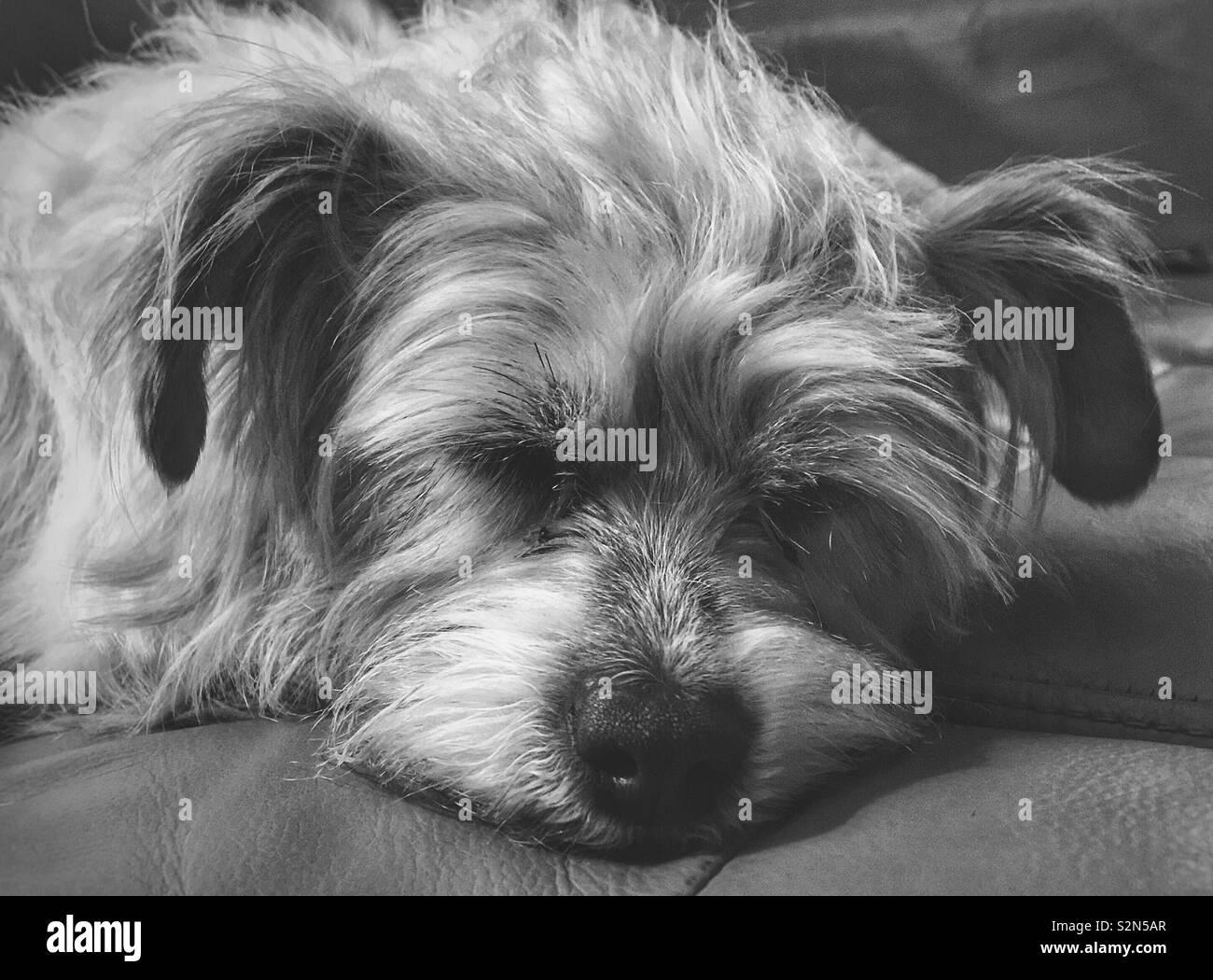 Sleeping Puppy - Stock Image
