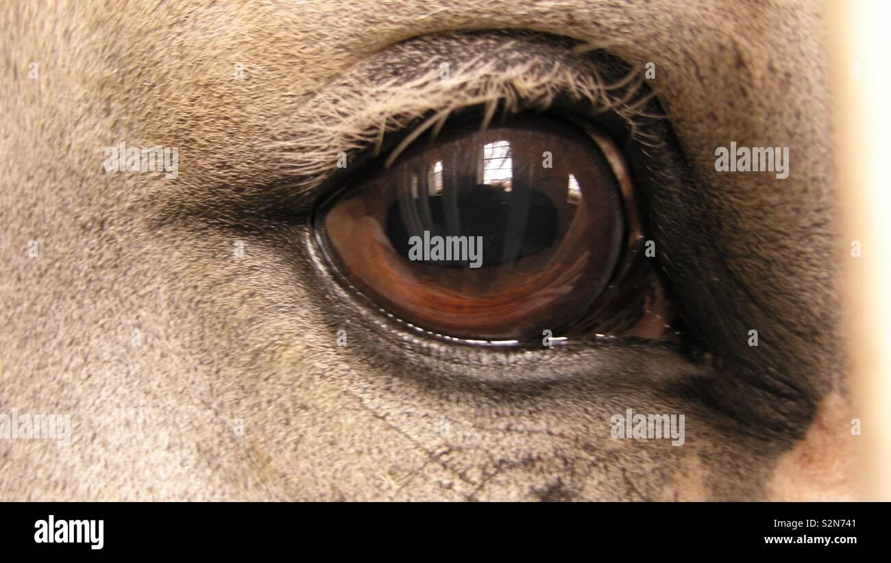 Horse Eye Reflection Stock Photos & Horse Eye Reflection