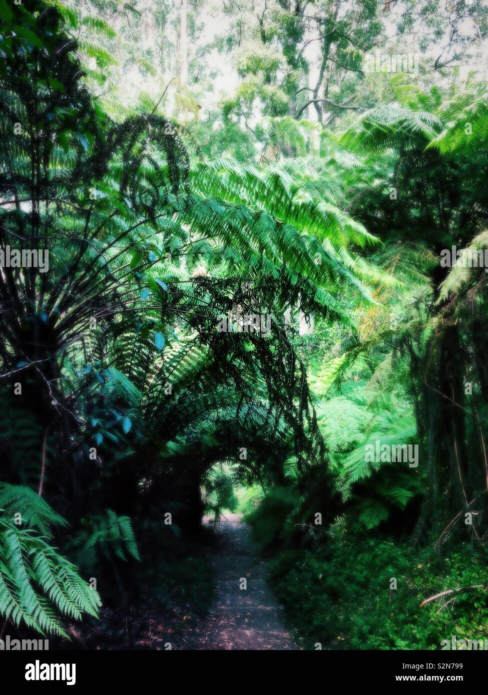 A forest track through the green ferns and gum trees, Sassafras, Victoria, Australia - Stock Image