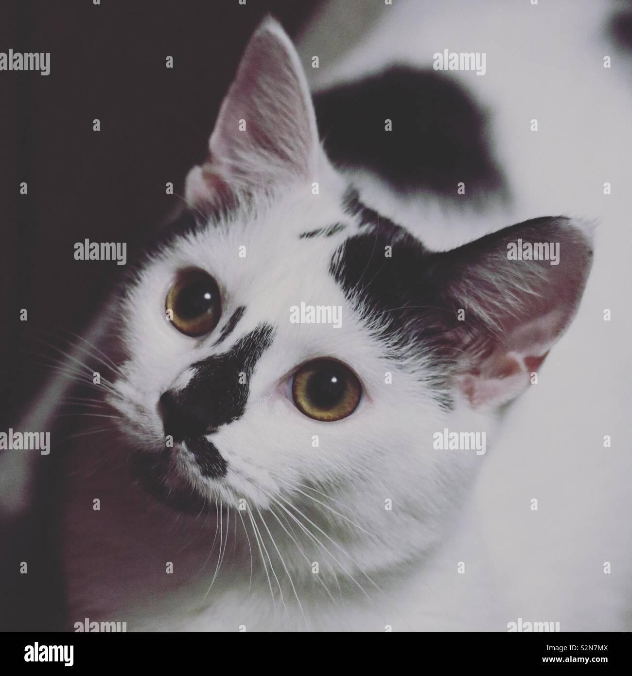 Black and white kitten - Stock Image
