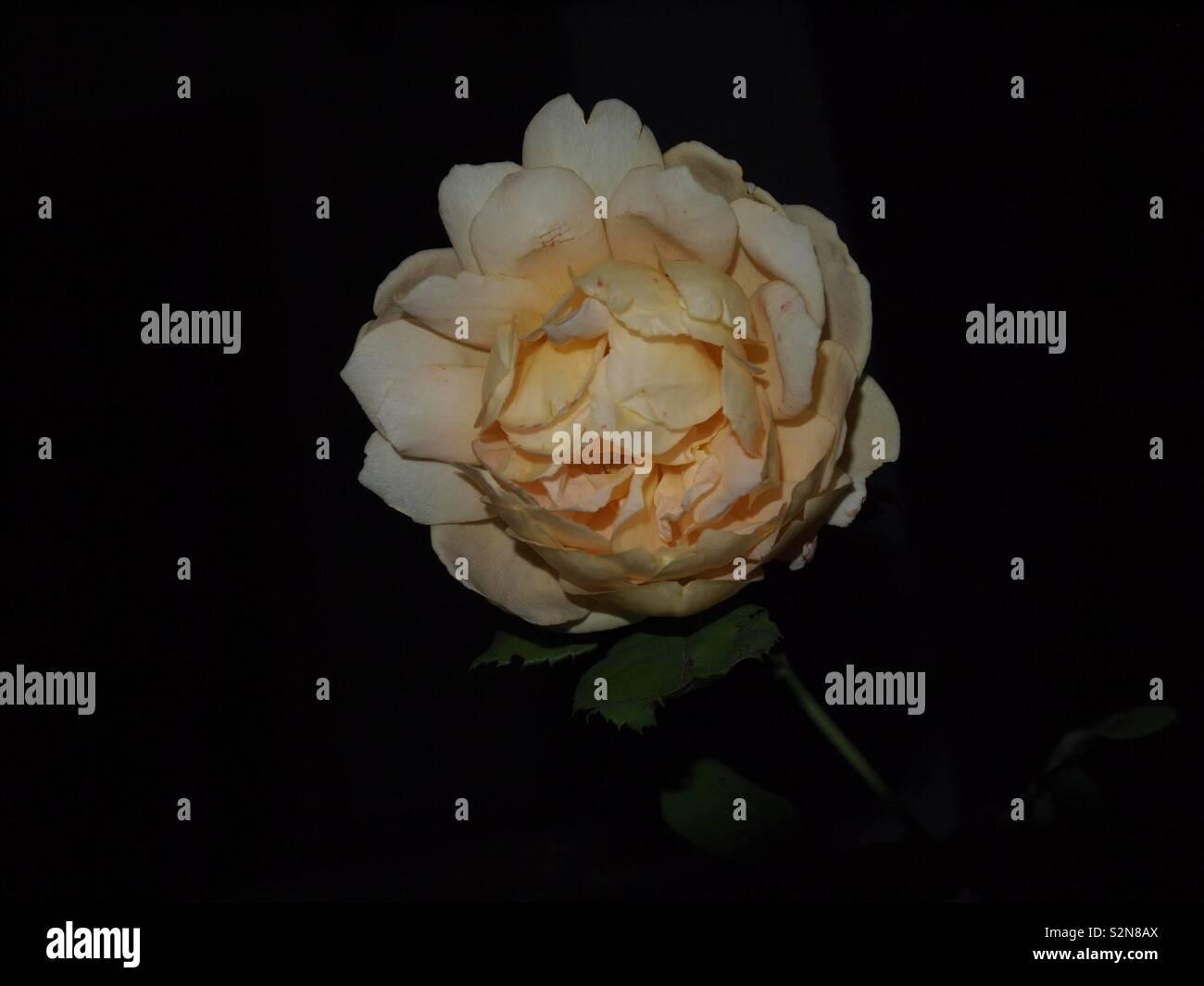 Rosé in der Nacht - Stock Image