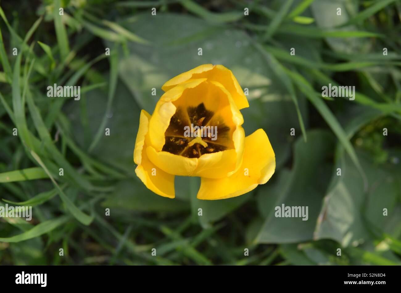 Gelbe Tulpe - Stock Image