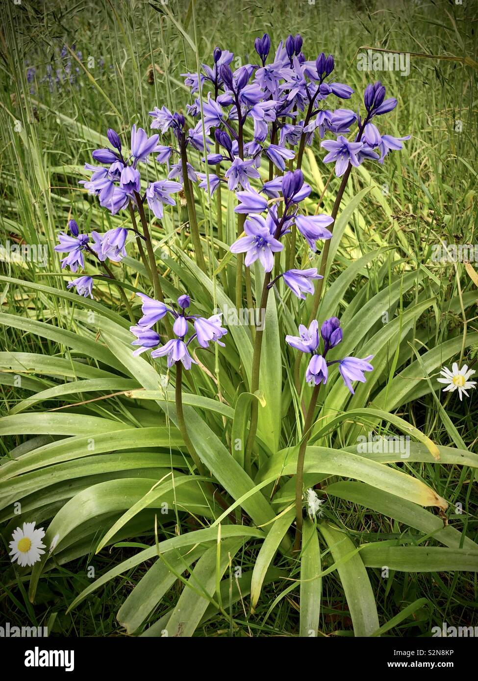 Hyacinthoides hispanica or Spanish bluebell growing in a shady spot - Stock Image