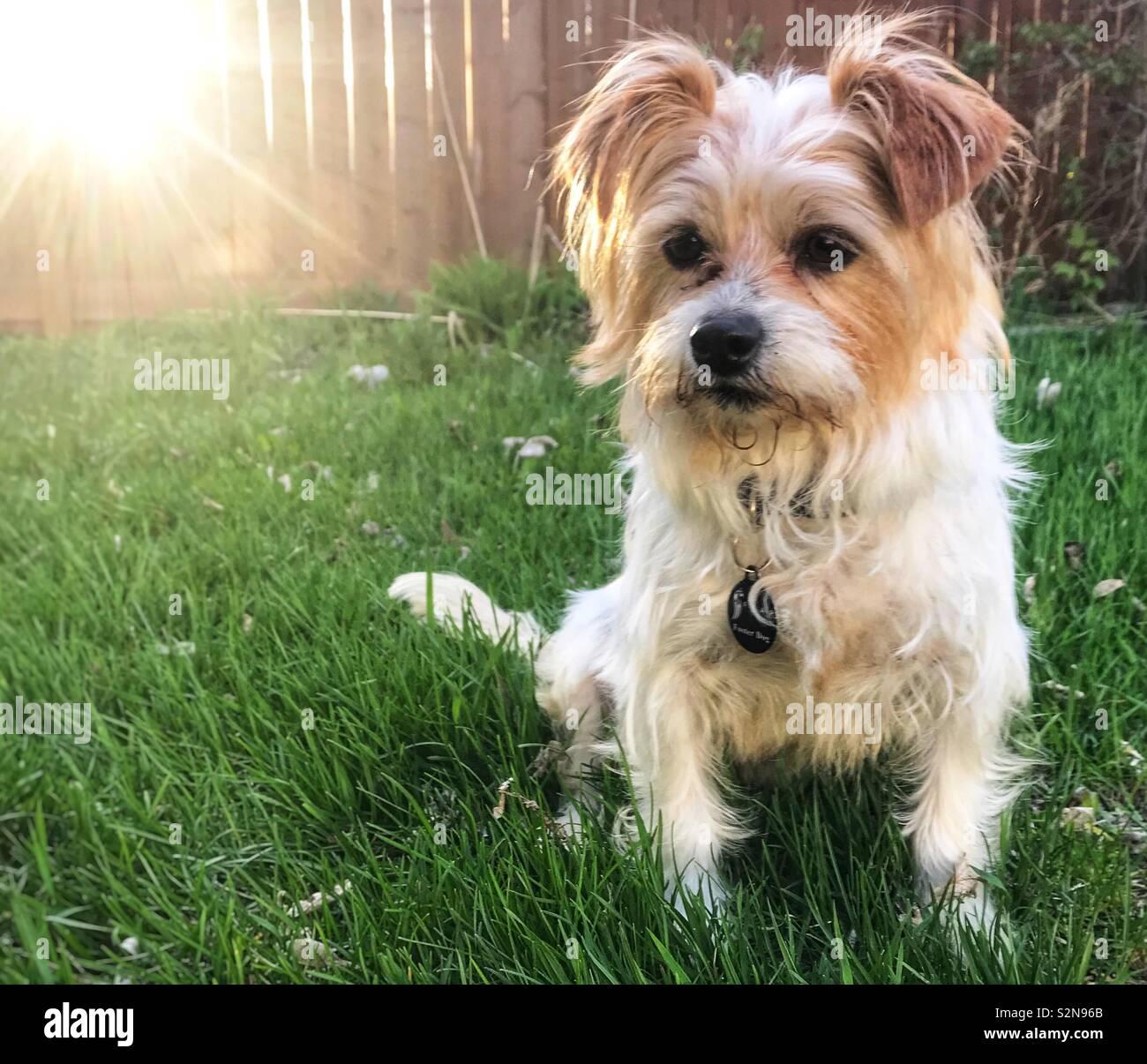 Terrier Dog - Stock Image