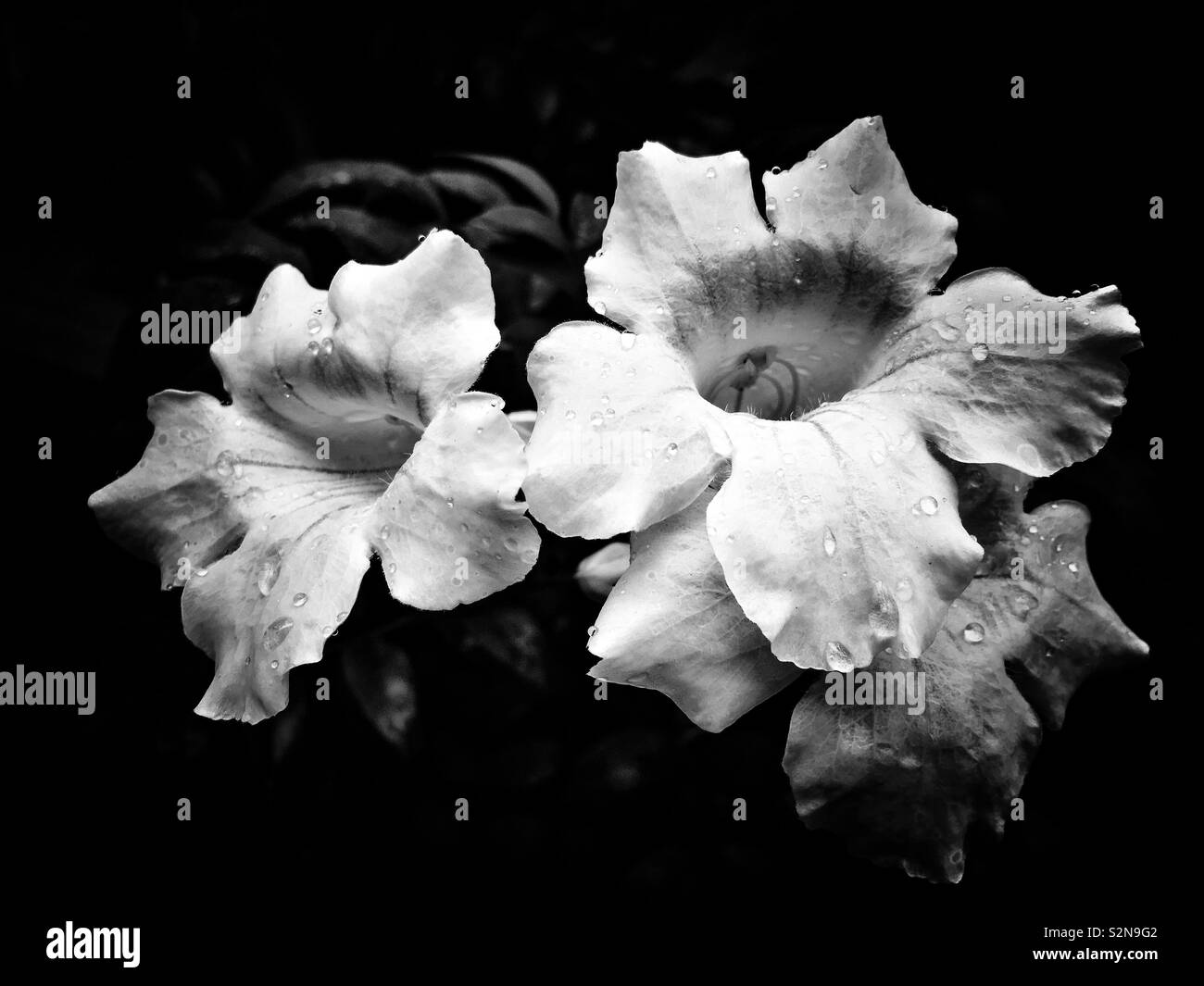 Black and white image of three beautiful flowers covered in water droplets. - Stock Image