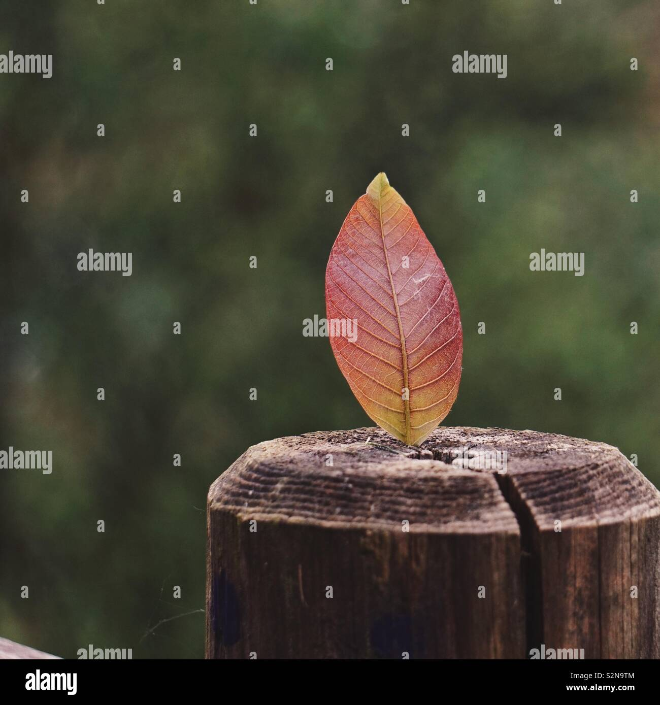 red tree leaf in the nature - Stock Image