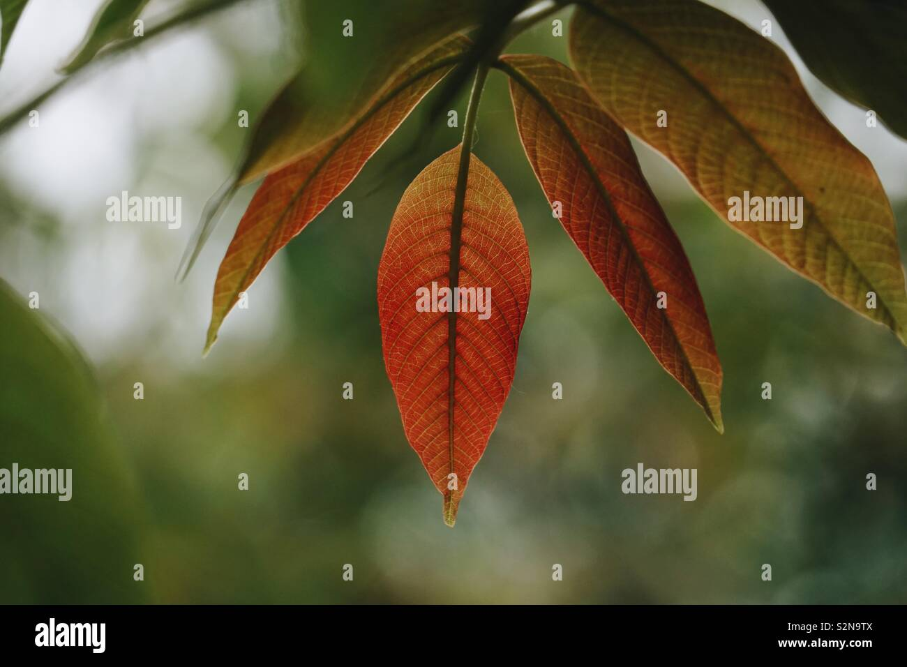 red tree leaf in summer - Stock Image