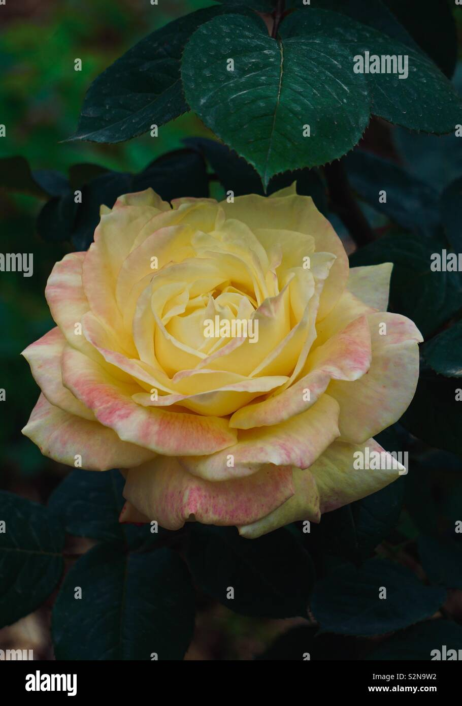 yellow rose flower plant in summer - Stock Image