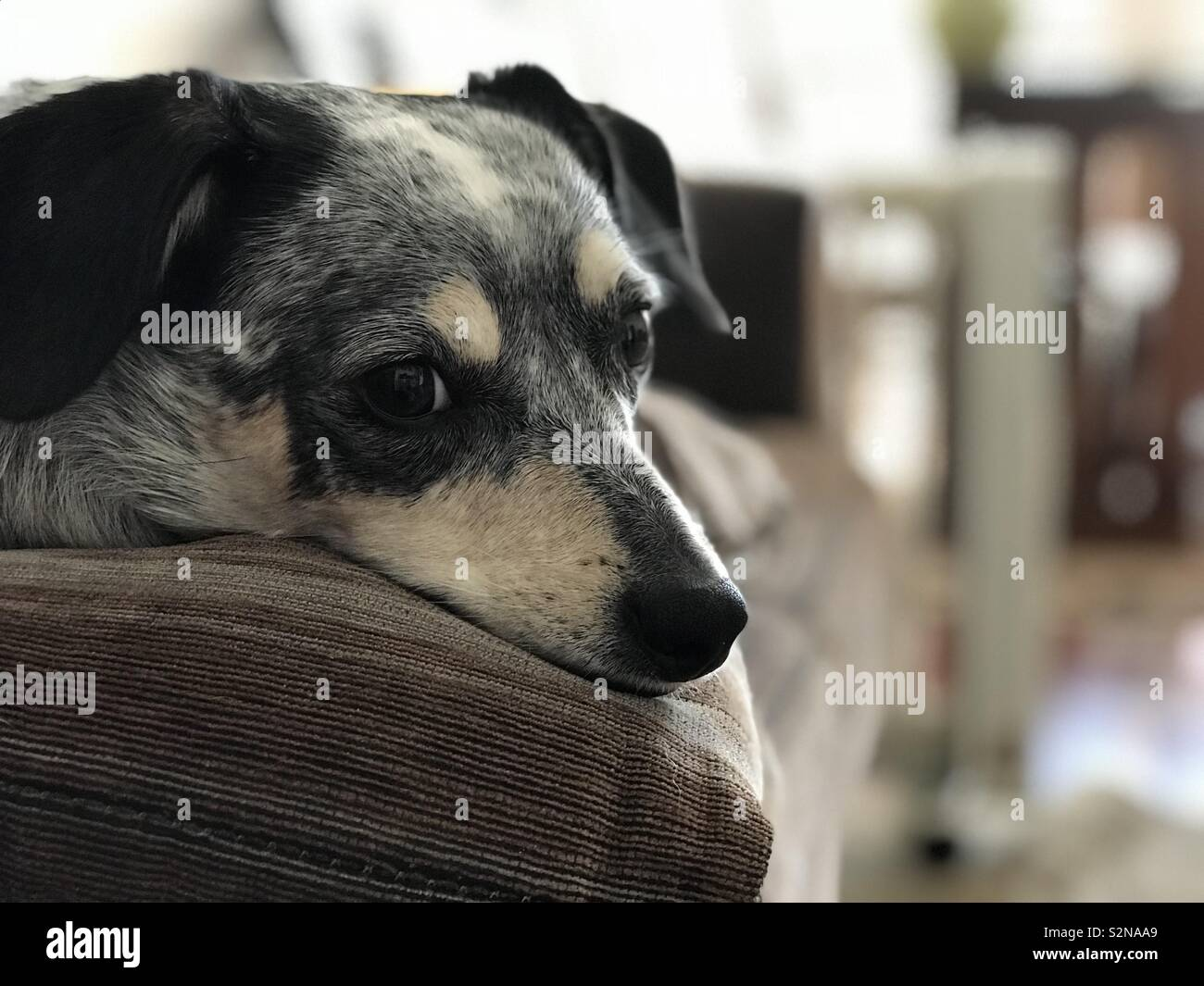 Dog laying in the couch - Stock Image