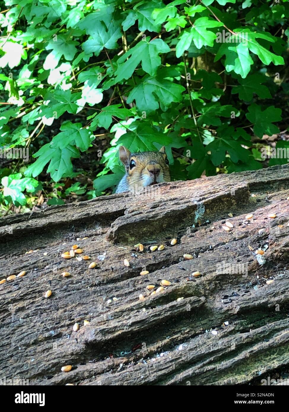 Cheeky grey squirrel peeking from behind an old log, UK, May, South Wales. - Stock Image