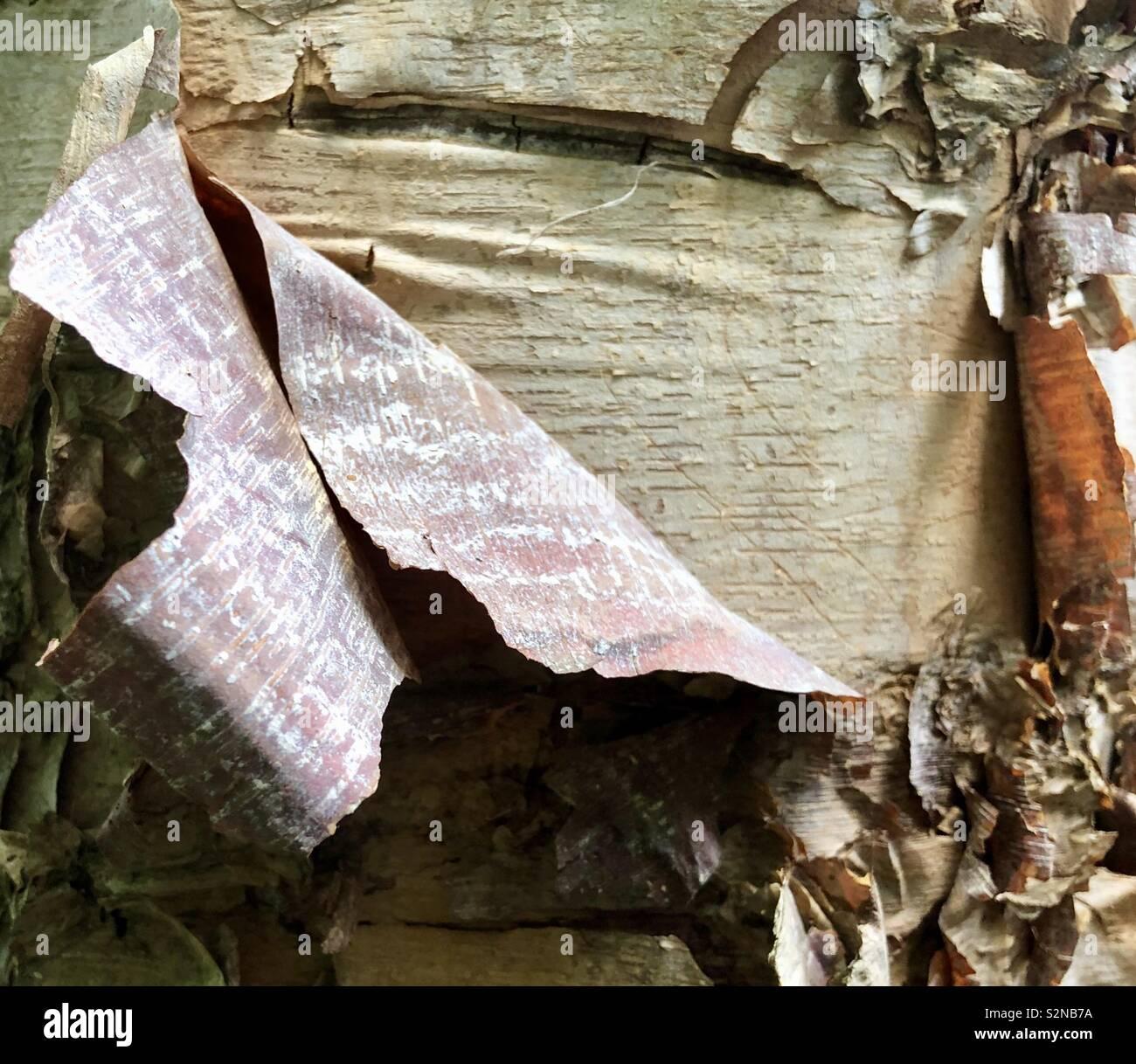 River Birchbark detail - Stock Image