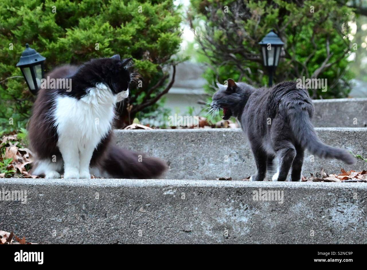 Territorial dispute between two domestic cats outdoors. Home life with feline cats - Stock Image