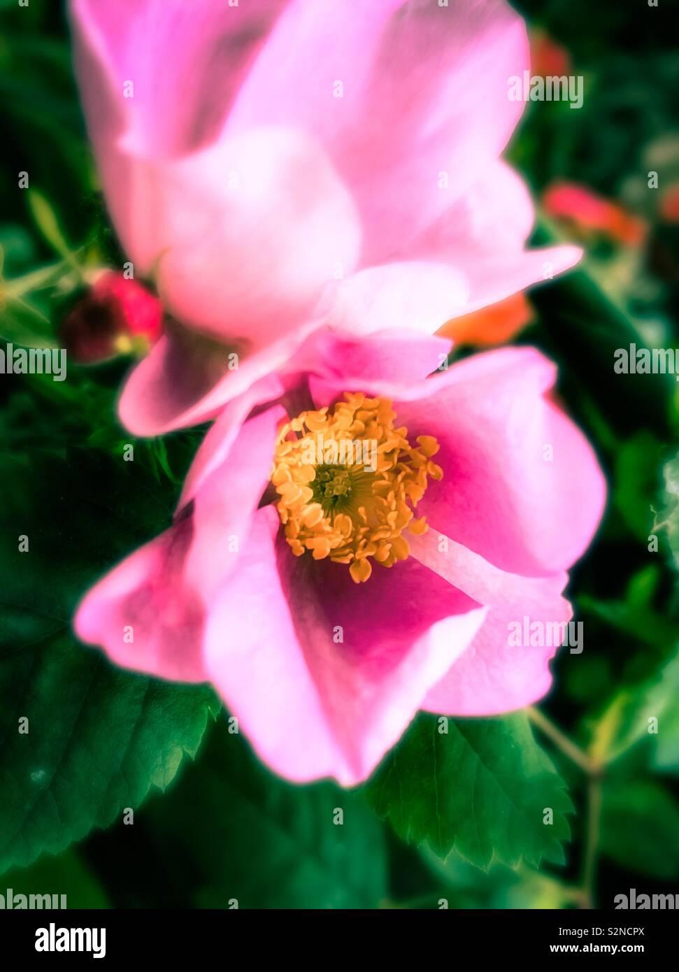Pink primrose - Stock Image