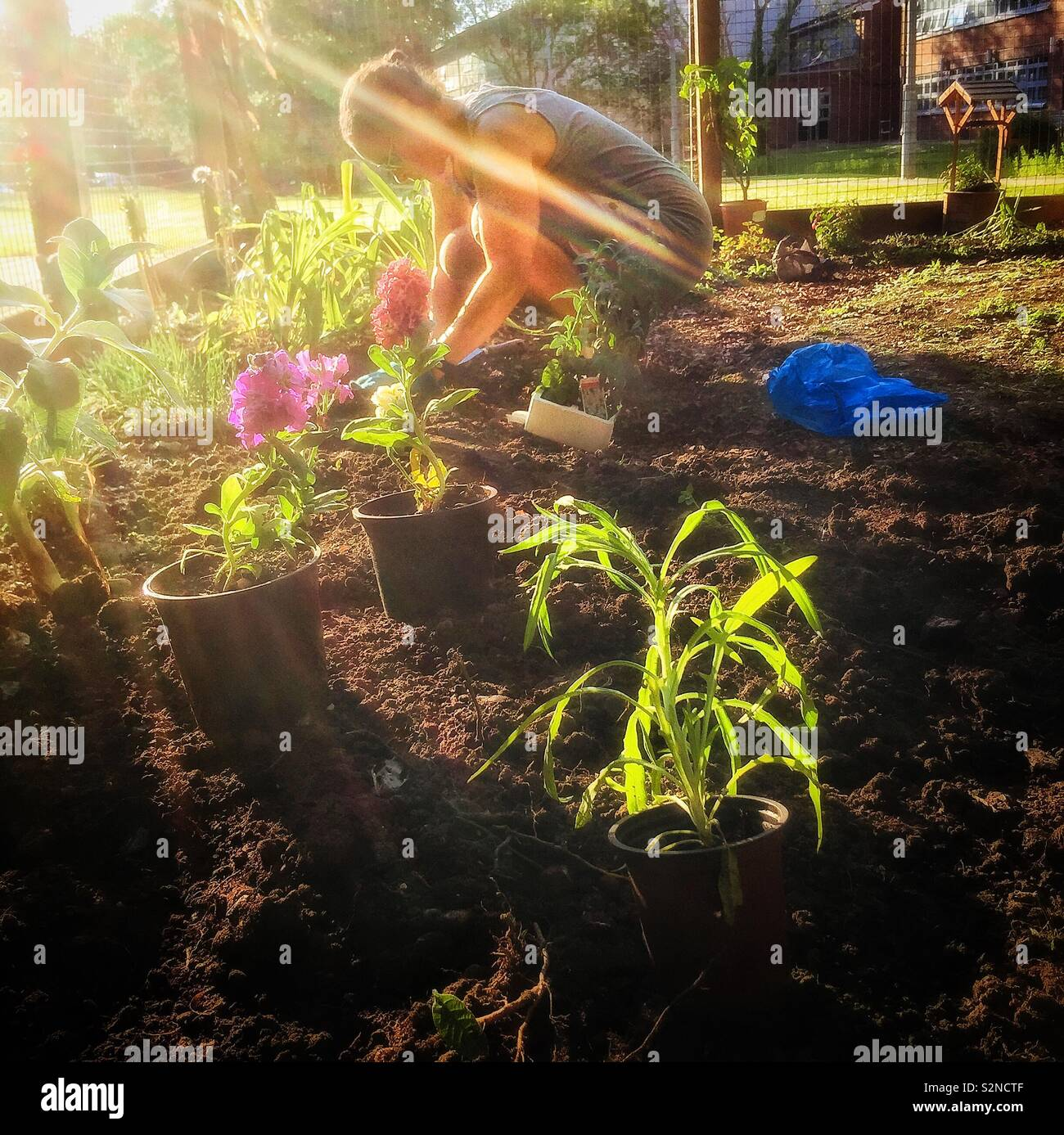 Young woman planting flowers in her garden - Stock Image