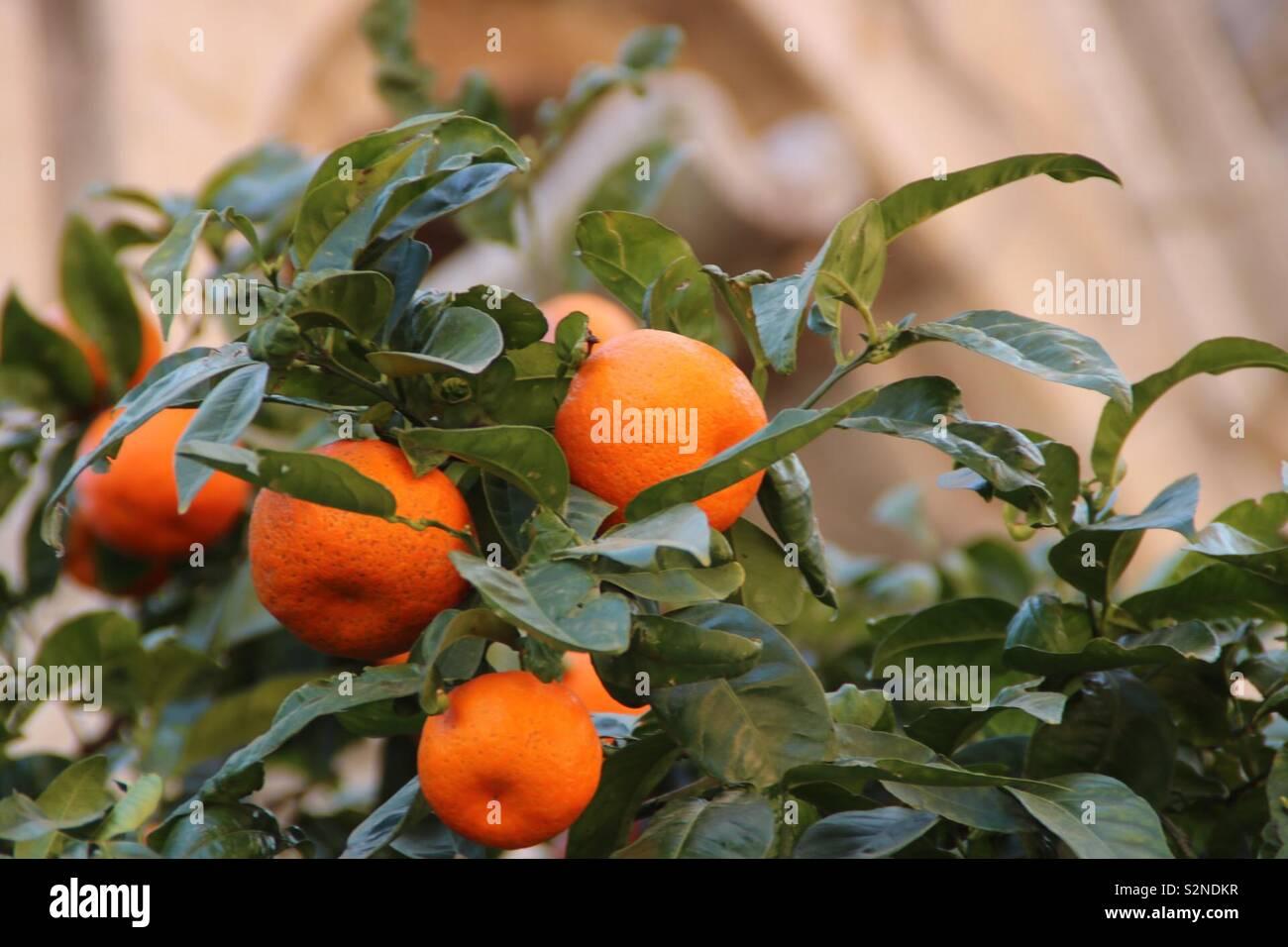 Orangen am Baum in Soller, Mallorca - oranges hanging on a tree in Soller - Stock Image