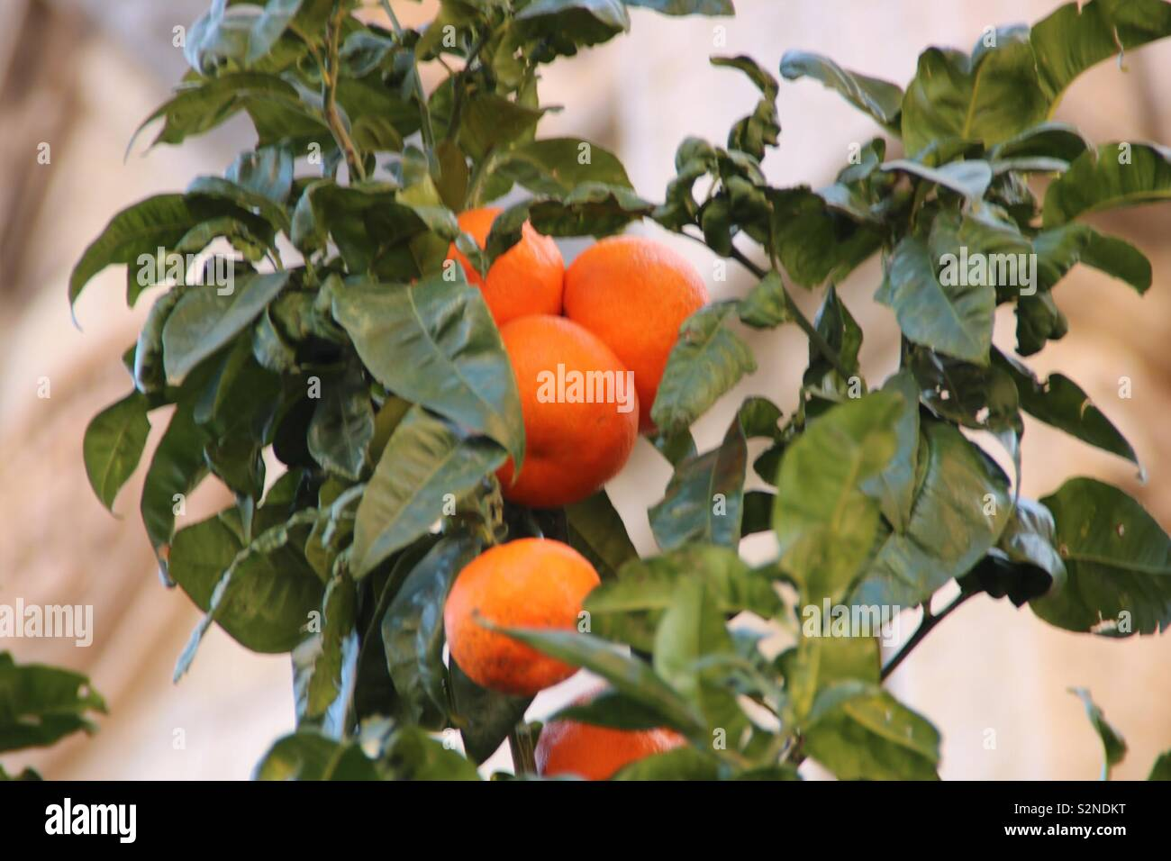 Orangen am Baum - oranges at a tree - Stock Image