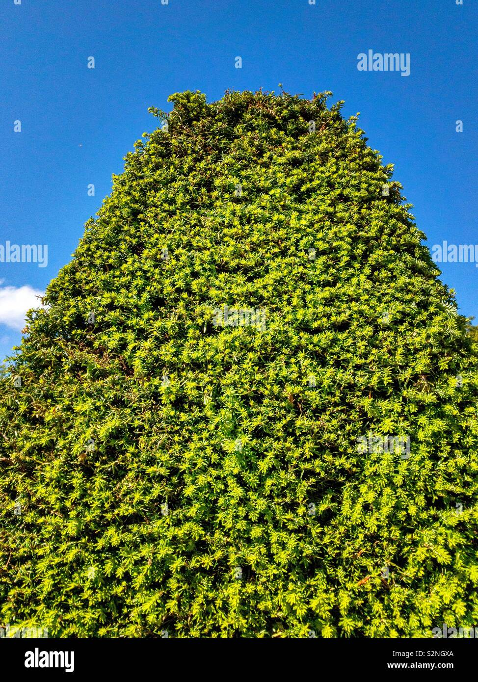 End of large trimmed yew hedge against blue sky. - Stock Image