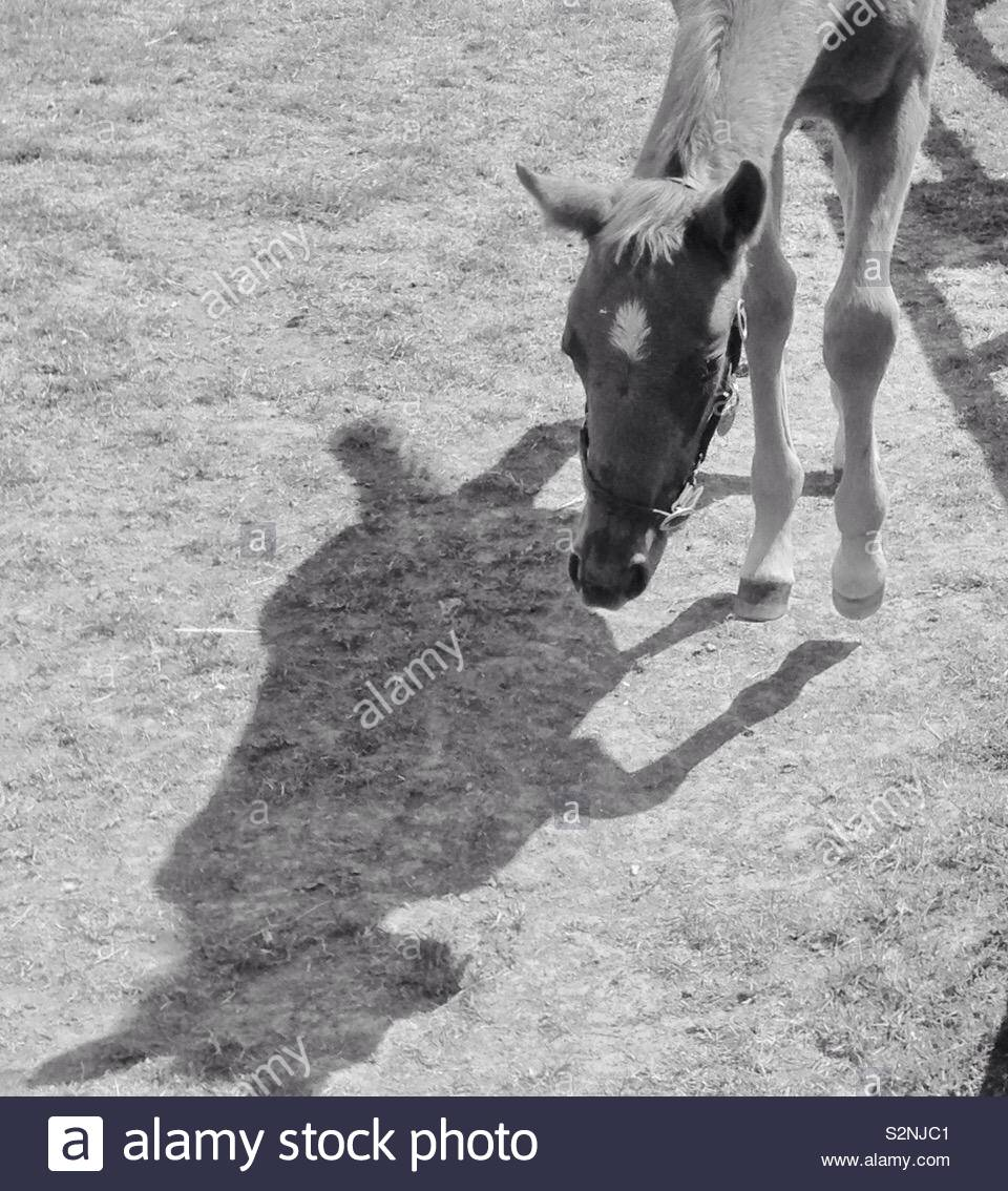 Foal intrigued by own shadow - Stock Image