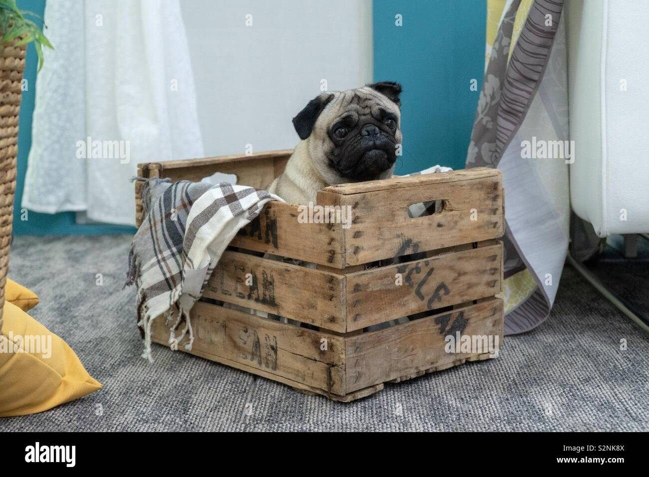 Pug in a box - Stock Image