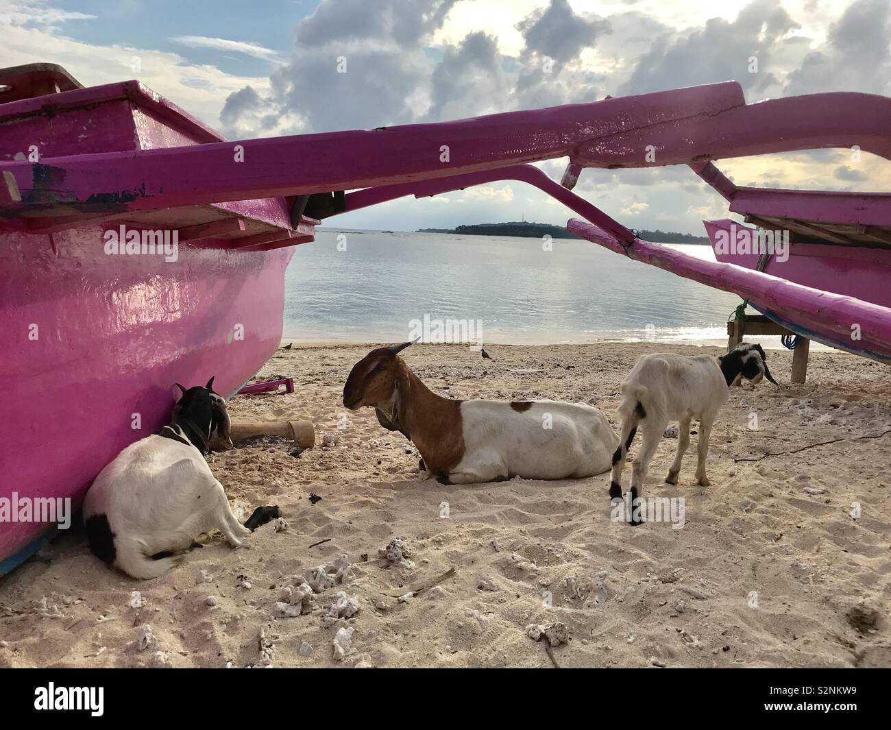 Gili Air Goats - Stock Image