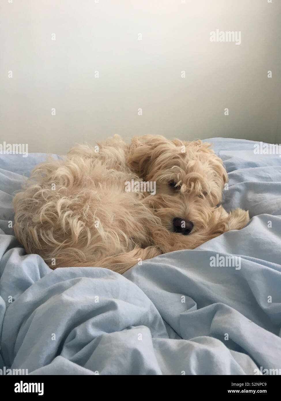 Cute cockerpoo puppy Stock Photo