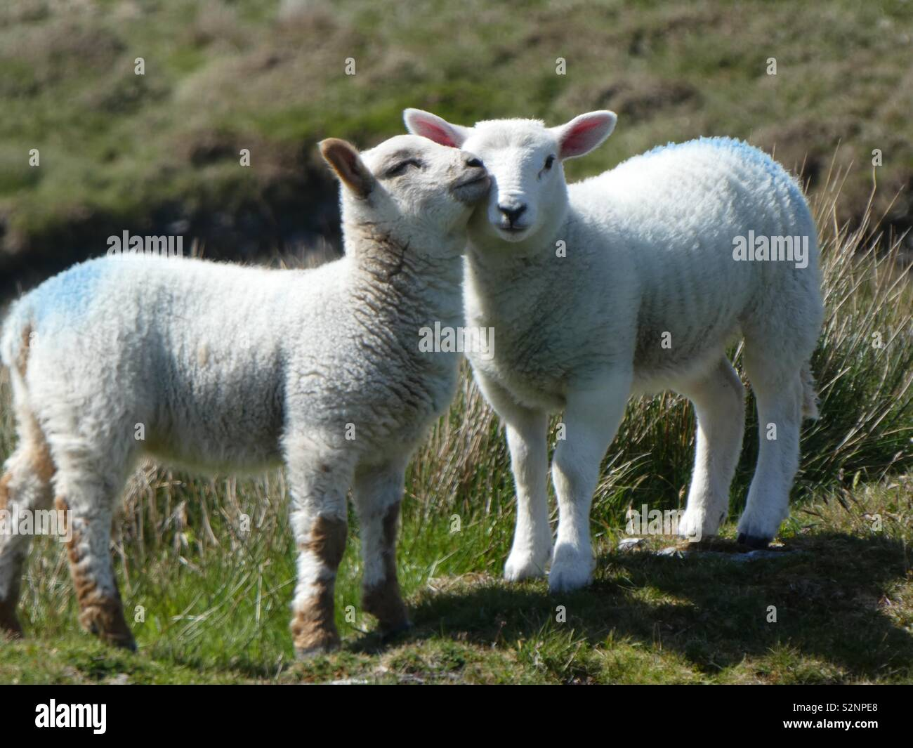 Two lambs up close - Stock Image