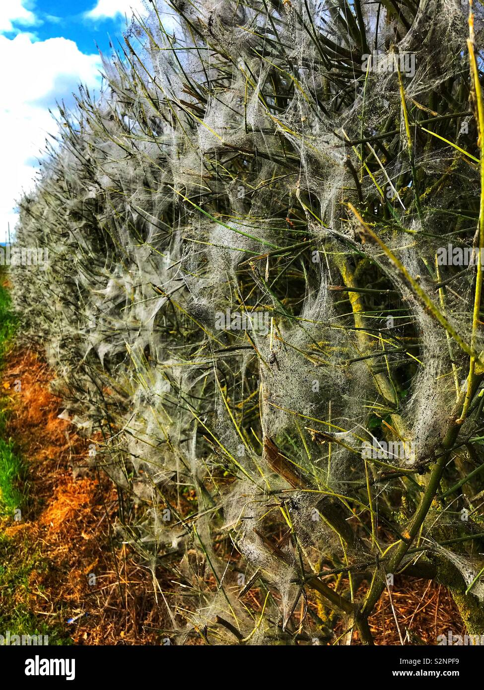 Spiders webs in a hedge - Stock Image