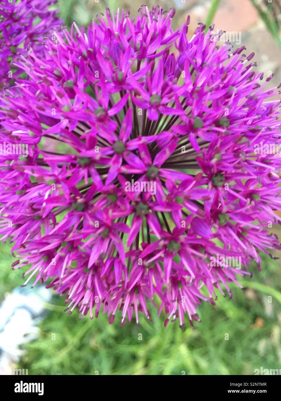 Purple Pom Pom flower - Stock Image