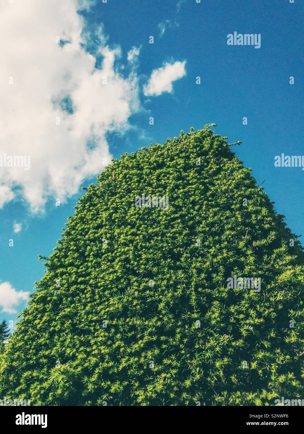 Side end of a large trimmed yew hedge against sky. - Stock Image