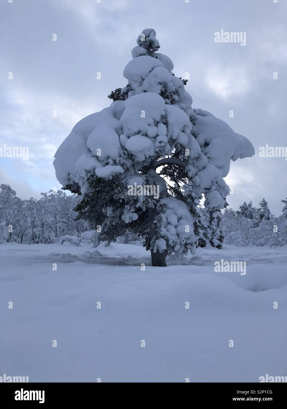 Snow laden trees in Swedish Lapland - Stock Image