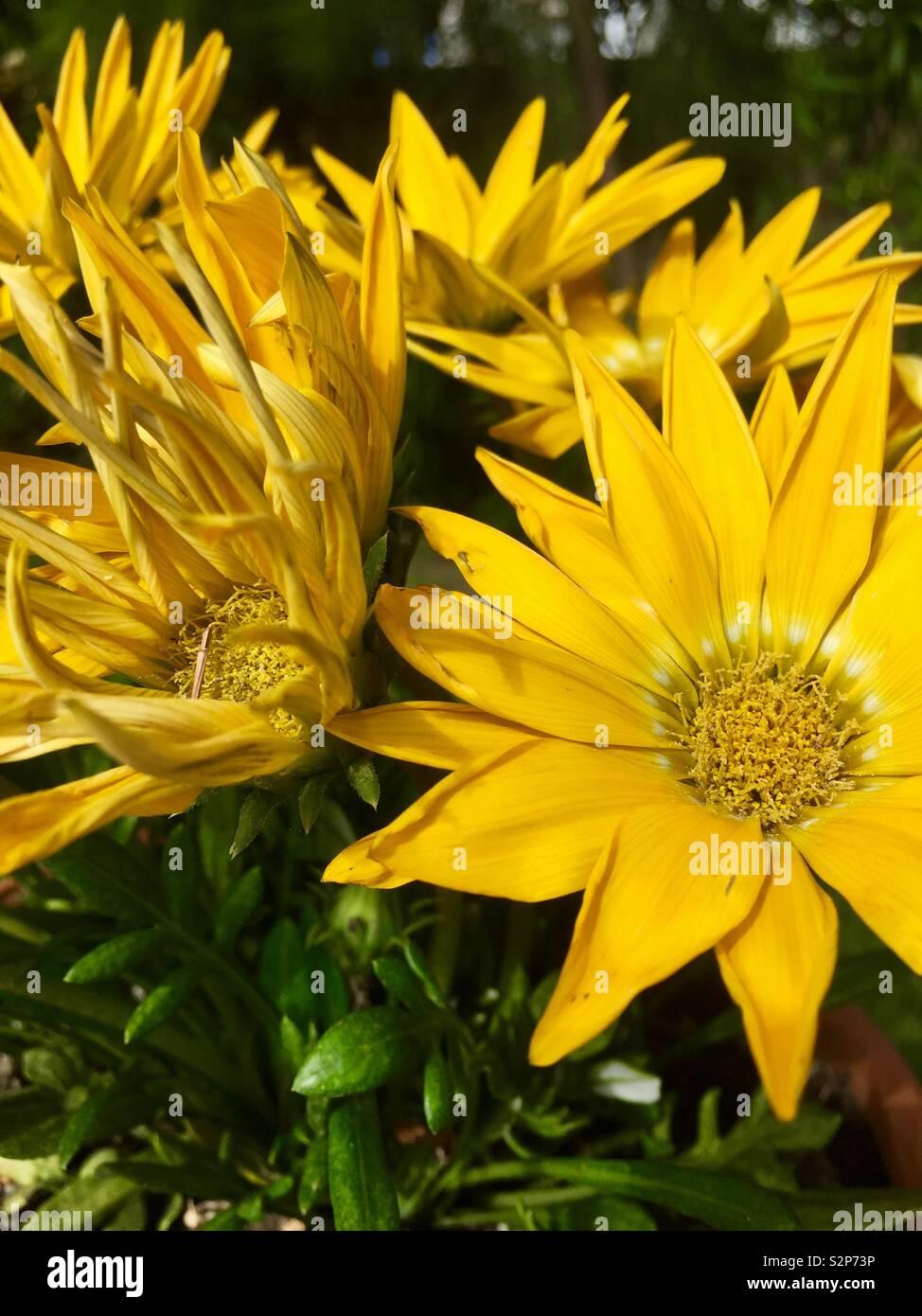 Bright yellow sunflowers in the beautiful island of Zakinthos Stock Photo