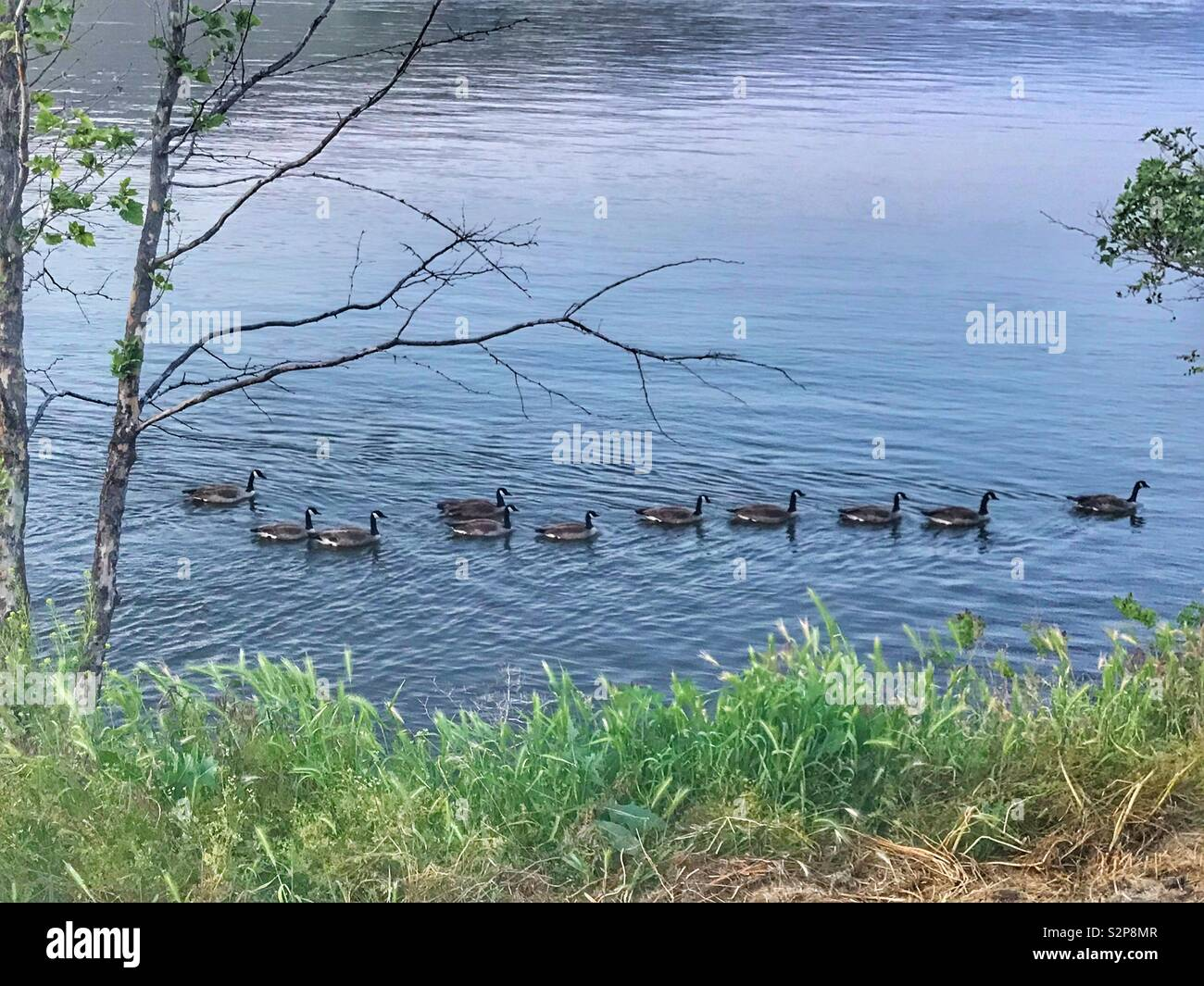 Geese all lined up in a row as they draft each others going up river. - Stock Image