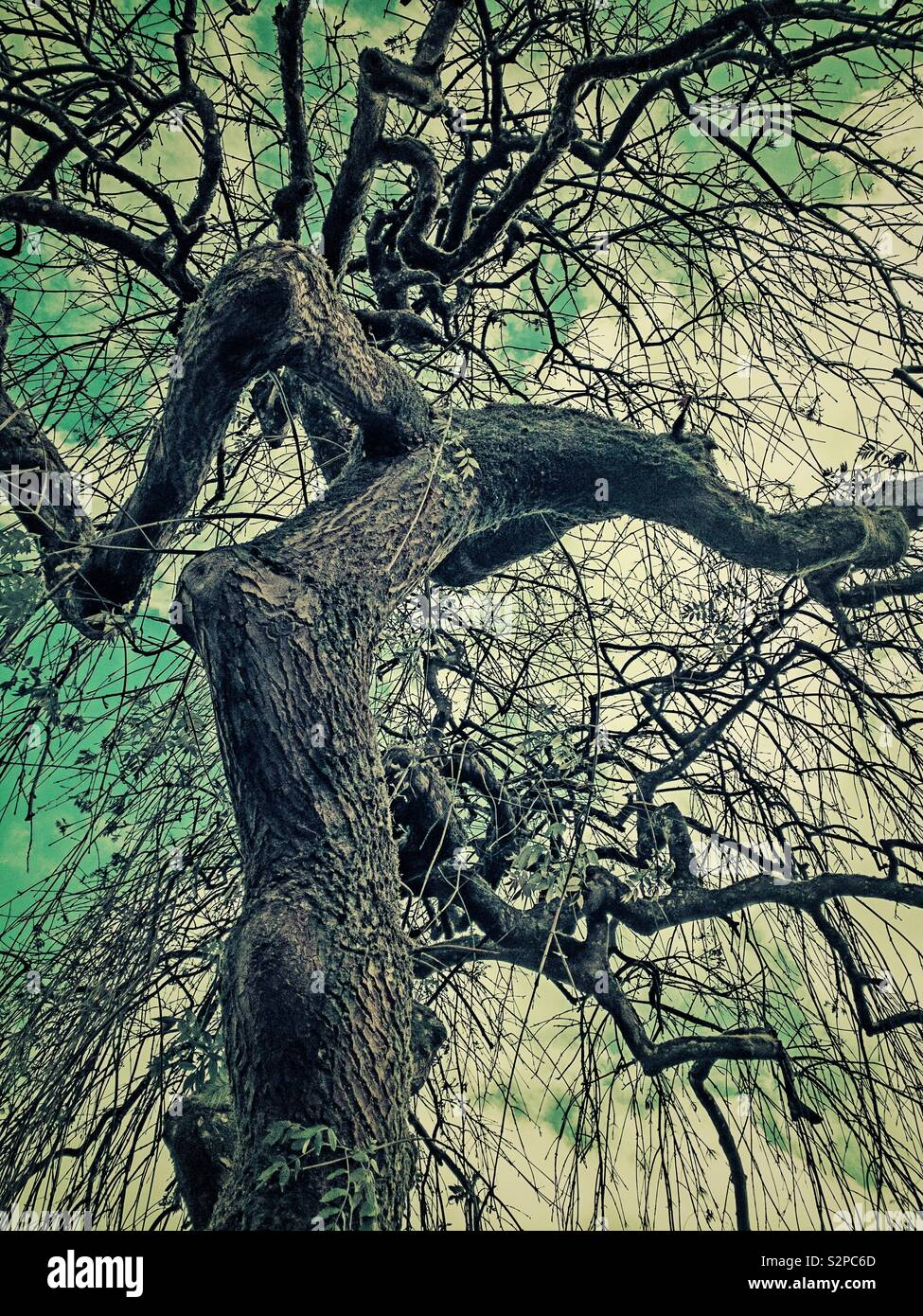 Gnarled trunk and branches of a weeping willow tree in winter. Stock Photo