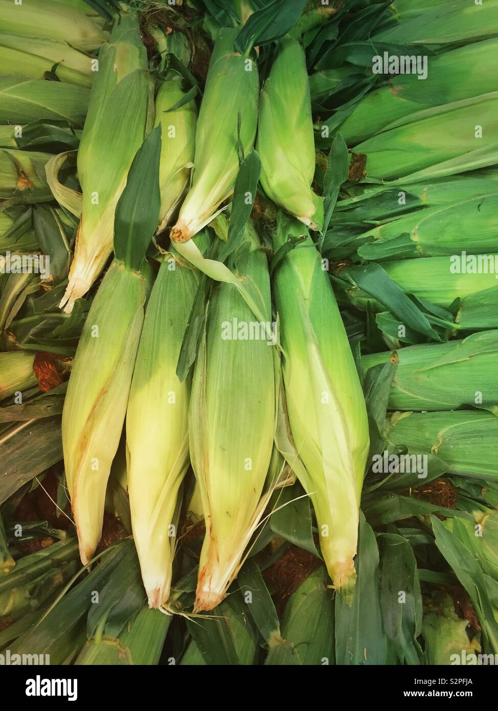 Just picked ears of sweetcorn still in the husks, USA - Stock Image