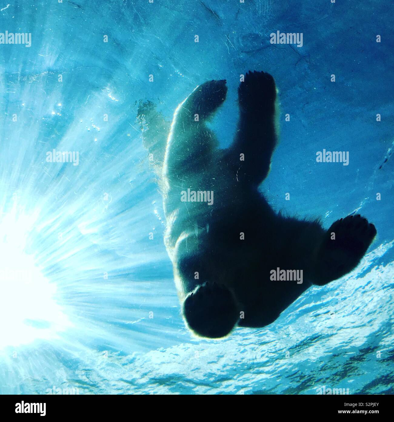 A polar bear, backlit by the sun, stands atop a clear viewing gallery of the still pool in the Arctic Frontier exhibit of the Columbus Zoo in Columbus, Ohio, USA. Stock Photo